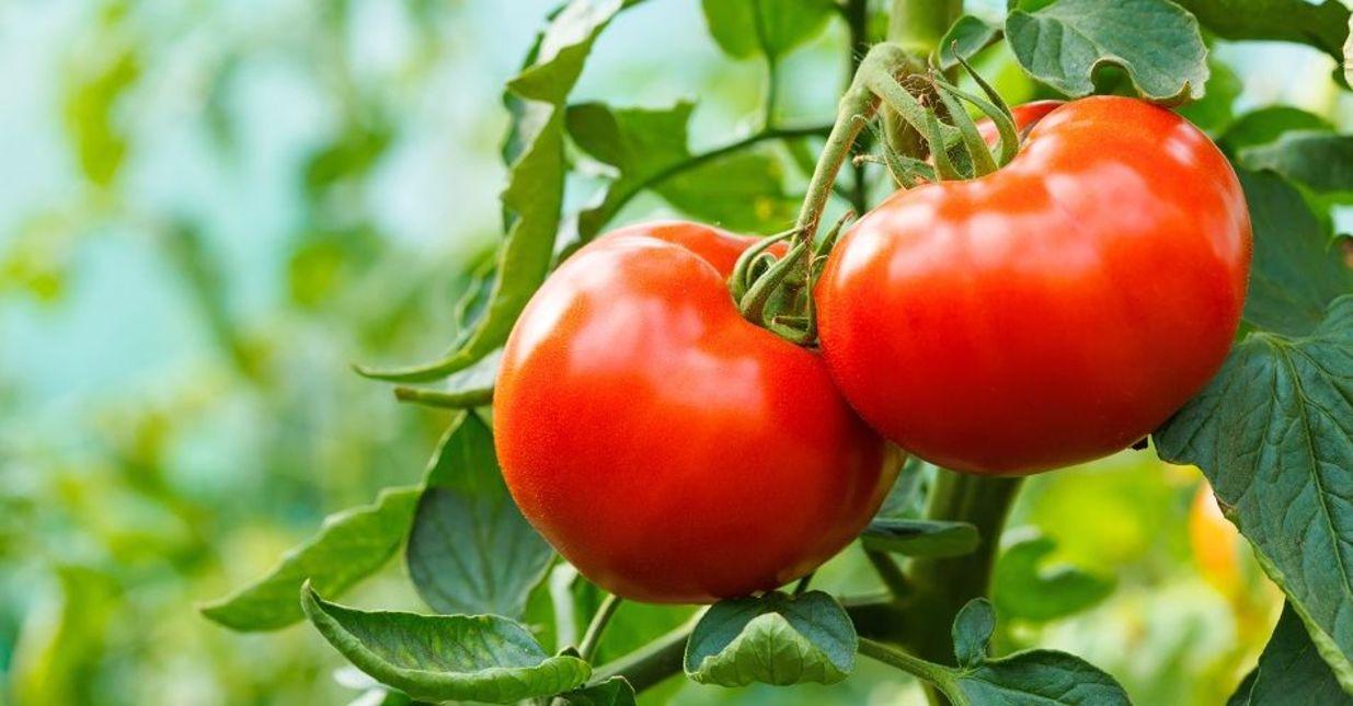 W Jaki Sposób Uprawiać I Pielęgnować Pomidory Target