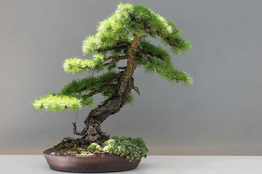 Jak Stworzyc Podlewac I Uprawiac Drzewka Bonsai Target